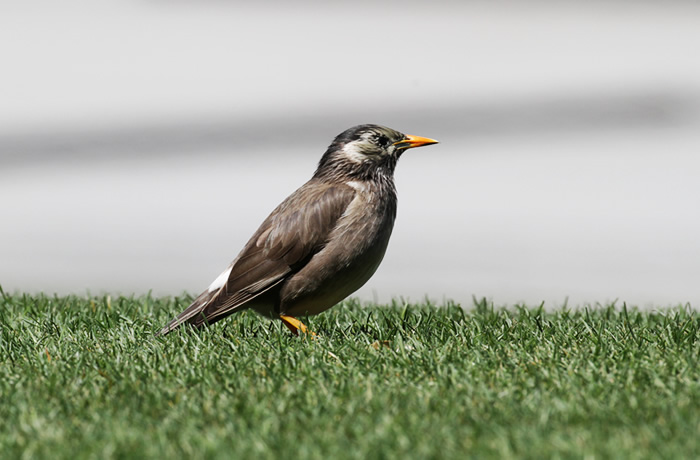White-cheecked Starling