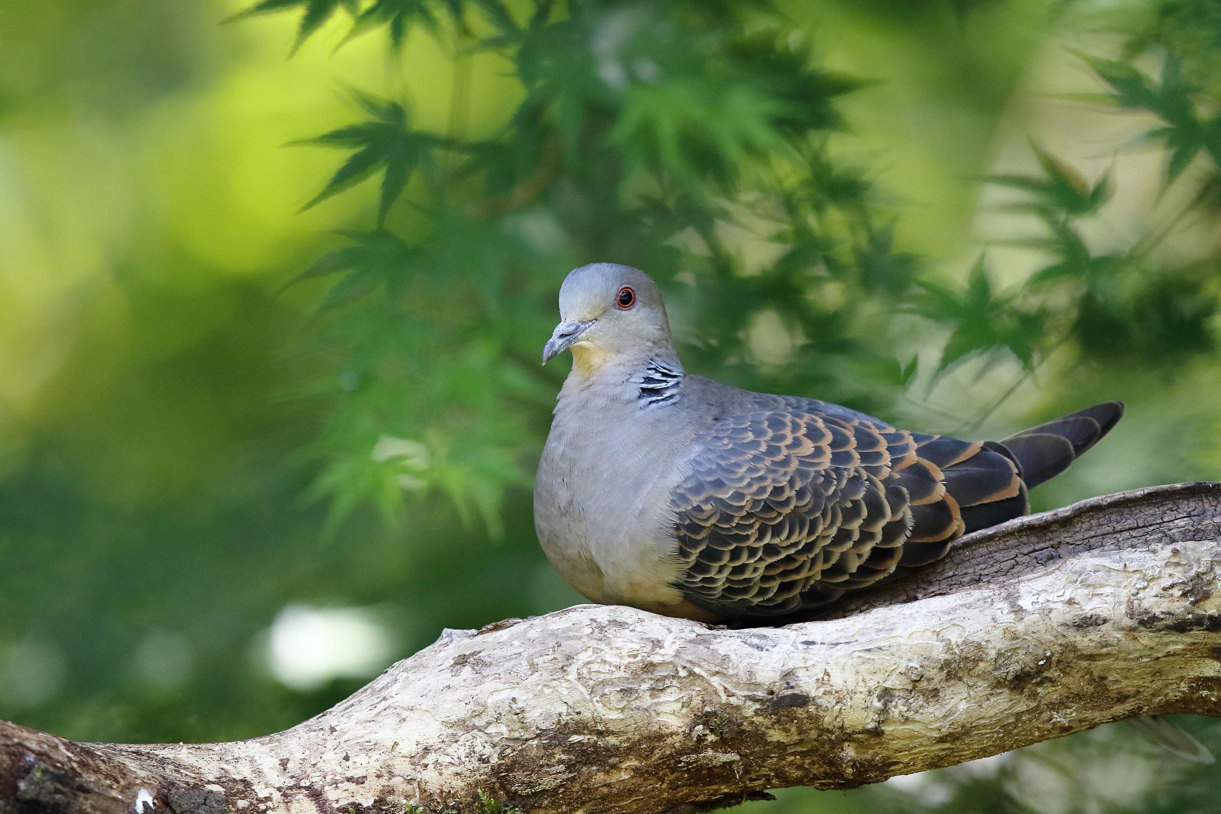 Canon bird branch project biodiversity initiatives canon oriental turtle dove buycottarizona