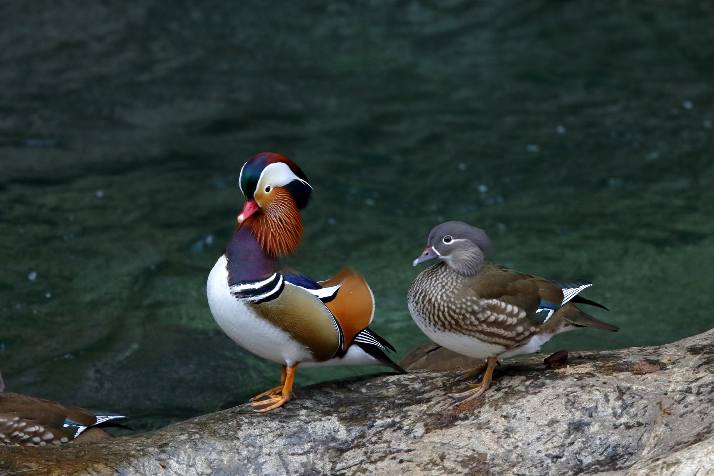 Mandarin Duck: description and photo. Find out where the mandarin duck lives 35