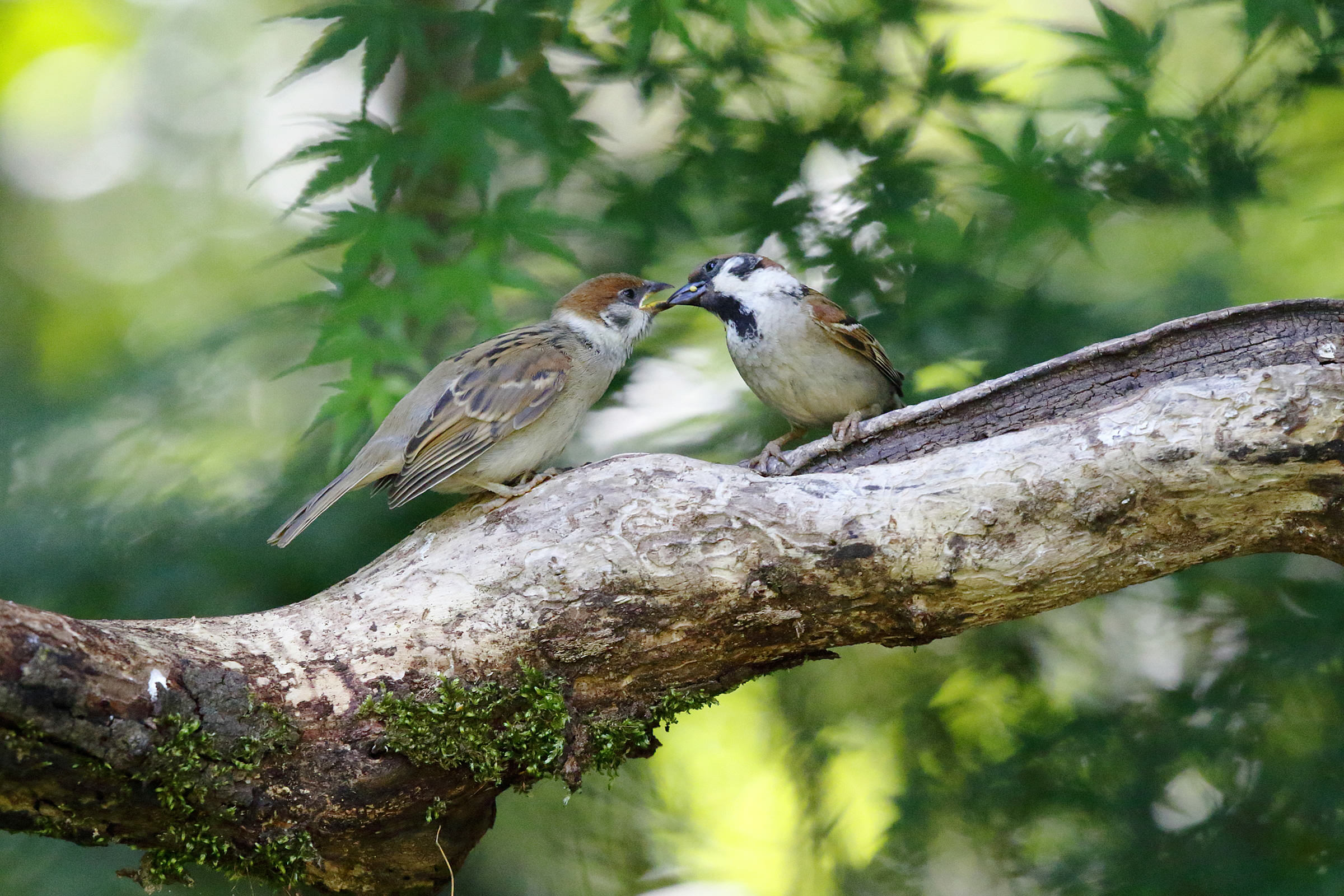 Raising Of Sparrow Pictures : of sparrows has caused some concern one reason may be the decline of ...
