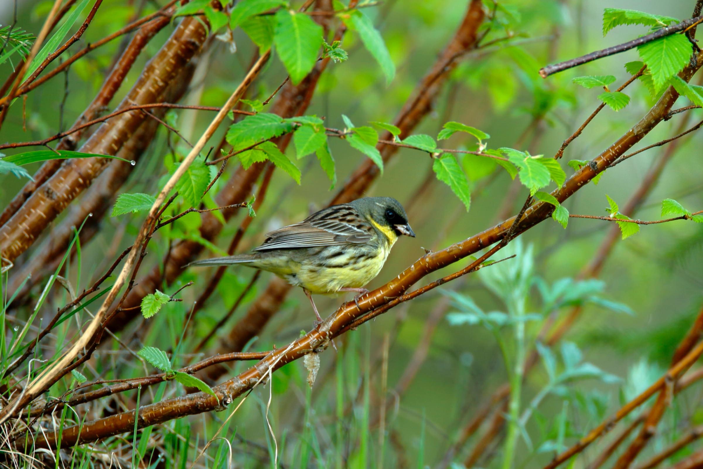 アオジ:緑の頭|野鳥写真図鑑|バードブランチプロジェクト | Canon ...