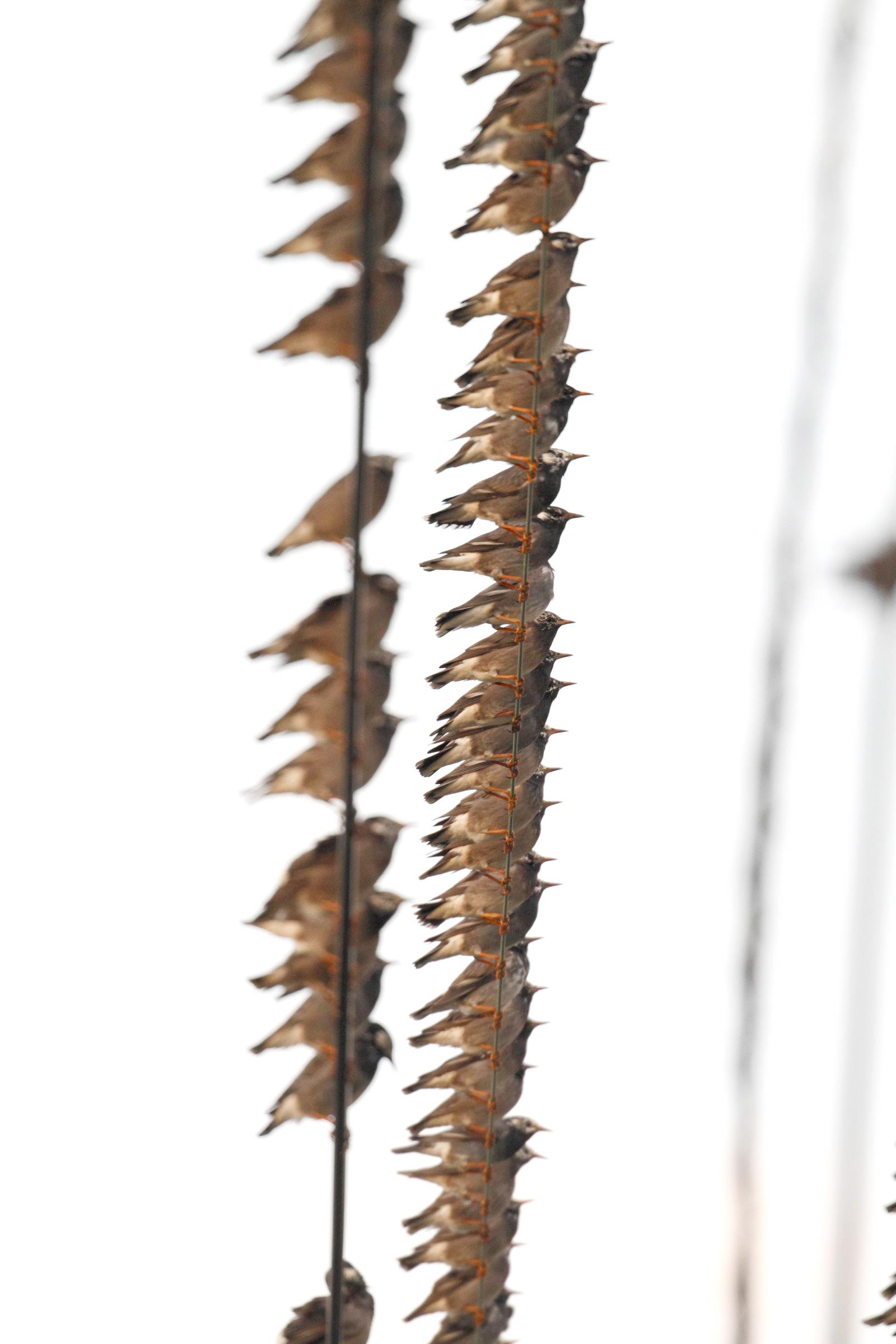 ムクドリの画像 p1_32