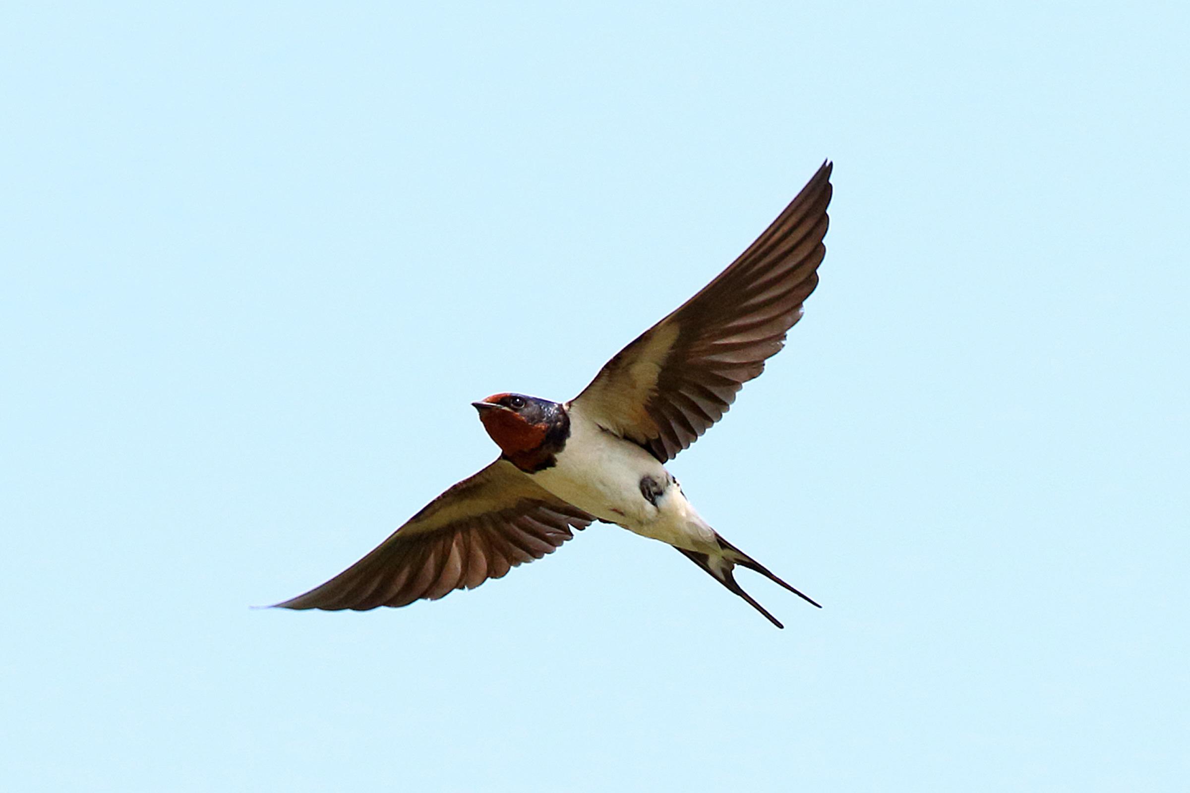 Â�ヤノン:バードブランチプロジェクト ǔ�物多様性の取り組み|野鳥写真図鑑|ツバメ